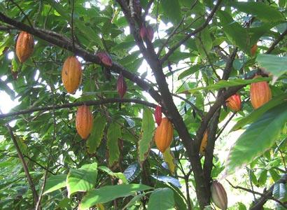 Какао - тропический фрукт