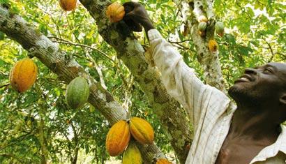 Сбор урожая какао